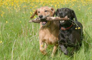 δυο σκυλια παιζουν