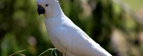 Παπαγάλος online-pet-shop-pet-astero