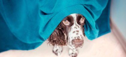 Σκύλος κρύβεται κάτω από κουβέρτα